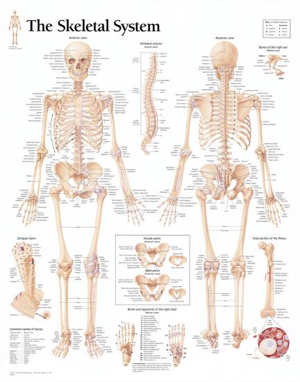 Laminated The Skeletal System Chart Poster--Laminated Poster