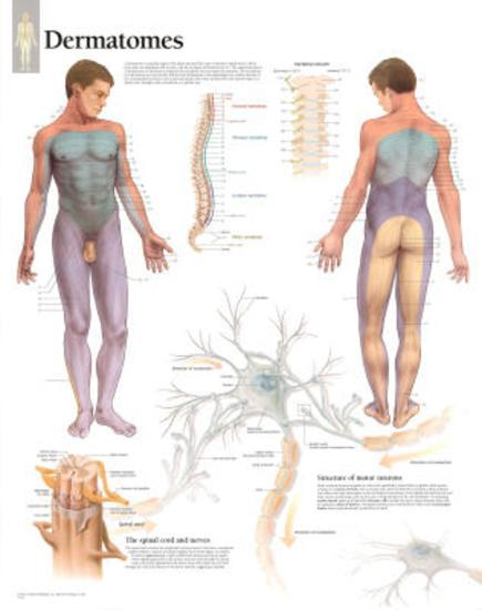 Laminated Understanding Dermatomes Educational Chart Poster--Laminated Poster