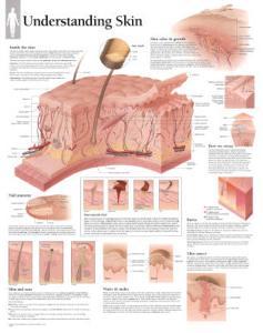 Laminated Understanding Skin Educational Chart Poster