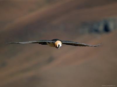 Lammergeier in Flight, Giant's Castle, Kwazulu Natal, South Africa-Steve & Ann Toon-Photographic Print