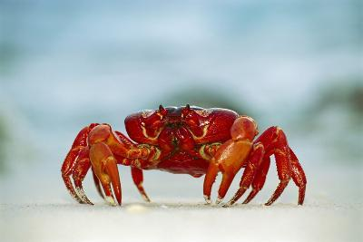 Land Crab Single Crab on Beach Close Up--Photographic Print