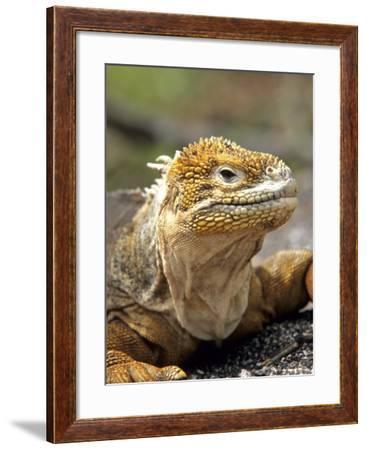 Land Iguana, Isla Isabela, Galapagos Islands, Ecuador-Michael DeFreitas-Framed Photographic Print