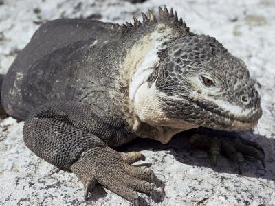 Land Iguana, Plaza Island, Galapagos Islands, Ecuador, South America-Walter Rawlings-Photographic Print