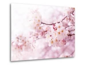 Cherry Blossoms in Full Bloom by landio