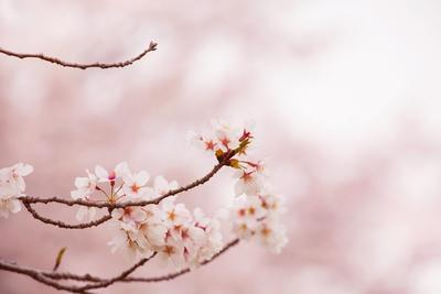 Spring Cherry Blossoms in Soft Spring Light