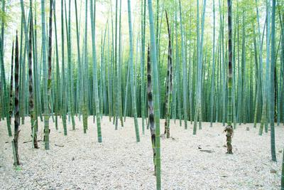 Young Bamboo Forest, with Some New Bamboo Shoots