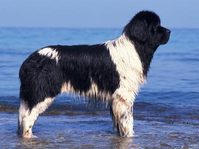 Landseer / Newfoundland Standing at the Beach-Adriano Bacchella-Photographic Print