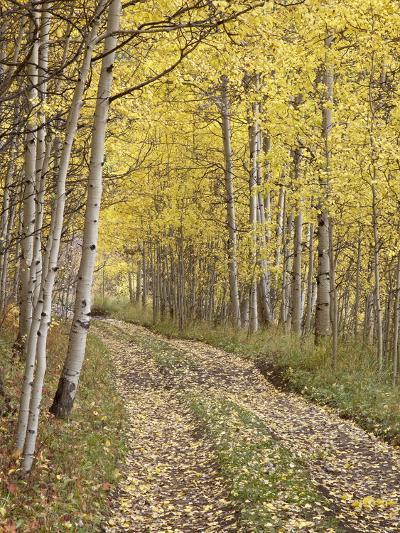 Lane Through Fall Aspens, Ophir Pass, Uncompahgre National Forest, Colorado, USA-James Hager-Photographic Print
