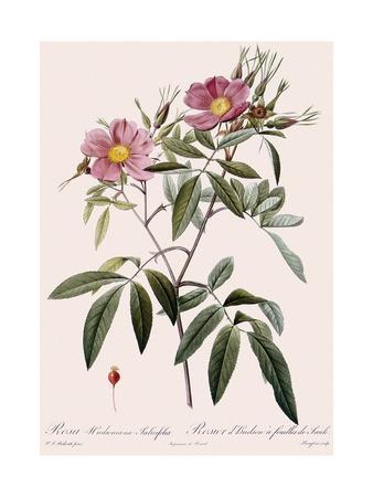 Hudson's Rose