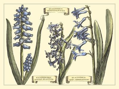 Hyacinth in Bloom