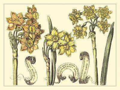 Narcissus in Bloom I