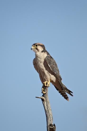 Lanner Falcon (Falco Biarmicus)-James Hager-Photographic Print