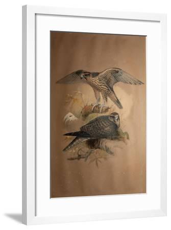 Lanner Falcon (Falco Lanarius), 1856-Joseph Wolf-Framed Giclee Print