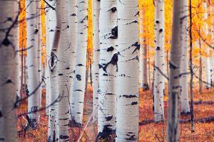 Aspen Forest by Lantern Press