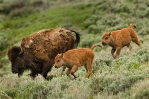 Bison and Calves Running by Lantern Press