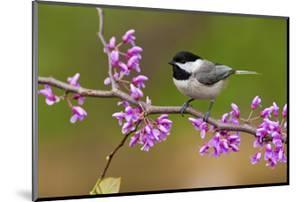 Black-Capped Chickadee by Lantern Press