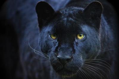 Black Panther by Lantern Press