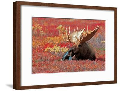 Bull Moose and Red Flowers
