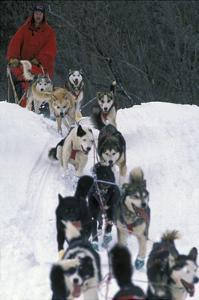 Dogsled Scene by Lantern Press