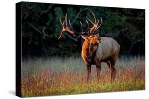 Elk Calling by Lantern Press