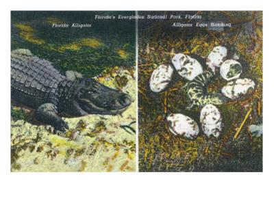 Everglades Nat'l Park, Florida - View of Alligator and Hatching Eggs