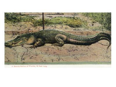 Florida - View of 19 Foot Long Alligator