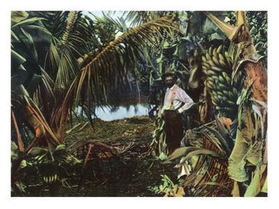 Florida - View of a Banana Grove