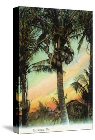 Florida - View of Coconuts in Tree
