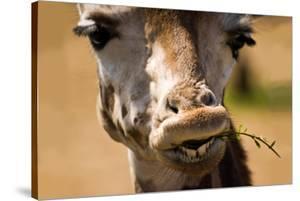 Giraffe Chewing by Lantern Press