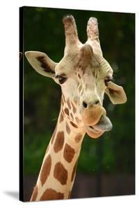 Giraffe Face by Lantern Press