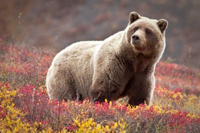 Grizzly Bear and Flowers by Lantern Press
