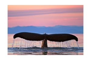 Humpback Fluke and Sunset by Lantern Press