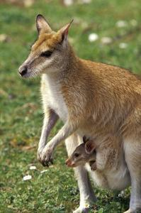 Kangaroo and Baby by Lantern Press