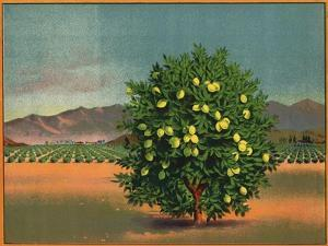 Lemon Tree and Orchard - Citrus Crate Label by Lantern Press