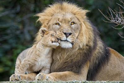 Lion and Cub Cuddle by Lantern Press