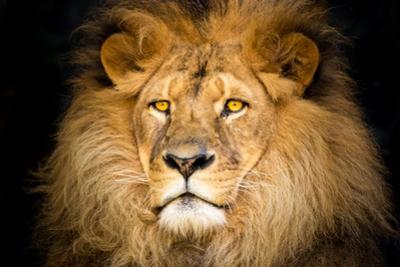 Lion Face by Lantern Press