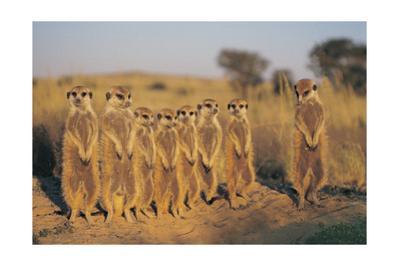 Meerkats Lined Up