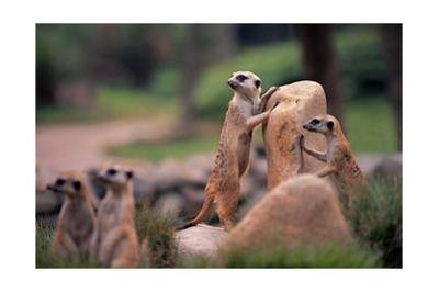 Meerkats Working
