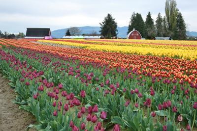 Multi Color Tulip Field