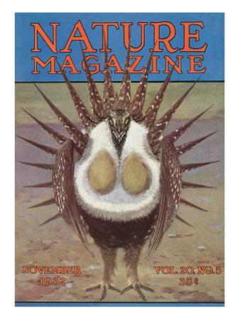 Nature Magazine - View of a Greater Sage-Grouse Bird All Puffed Up, c.1932