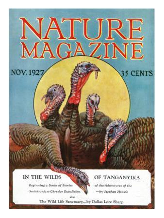 Nature Magazine - View of a Group of Turkeys, c.1927