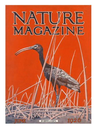 Nature Magazine - View of a Ibis in a Marsh, c.1926