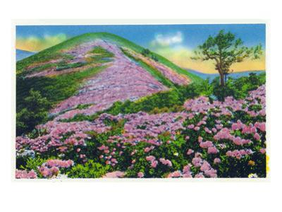 North Carolina - View of Purple Rhododendron in Bloom Near Blue Ridge Parkway