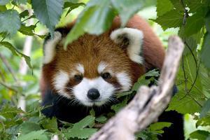 Red Panda by Lantern Press