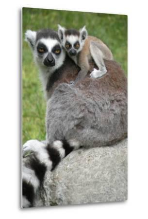 Ring Tailed Lemur and Baby