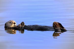 Sea Otter Relaxing by Lantern Press