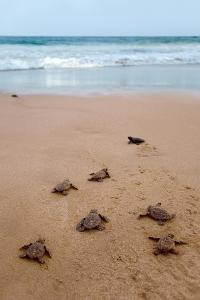 Sea Turtles Hatching by Lantern Press