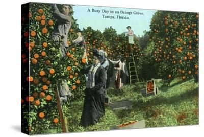 Tampa, Florida - Picking Oranges Scene