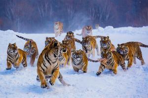 Tigers in Snow by Lantern Press