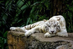 White Tiger Laying Down by Lantern Press